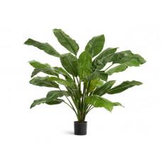 Спацифиллум Гигант куст зелёный (без цветов) в-90 см, д-110 см 2/2