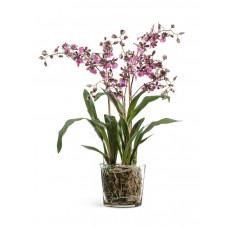 Орхидея Онцидиум бургундия с розово-белым в-67 см, д-45 см в стекл.вазе с мхом, корнями, землёй 1/1