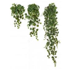 Английский плющ Биг Олд Тэмпл крупнолистный зелёный в-60 см (Sensitive Botanic) 6/48