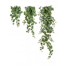 Сциндапсус Пиксус серебристо-зелёный в-60 см (Sensitive Botanic) 6/48