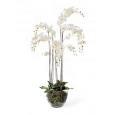 Орхидея Фаленопсис белая куст 150 см 5 ветвей в стекл.вазе с мхом, корнями, землёй 1/1